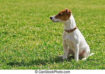 jack russel on green lawn