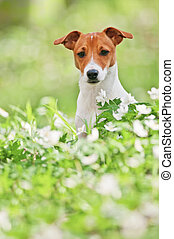 jack russel on spring forest