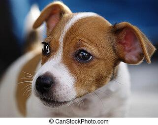 Jack Russel Pup - Jack Russel Terrior pup