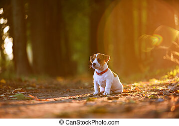 jack russel puppy on autumn alley - Pretty jack russel...