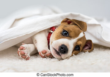 jack russel puppy on white bed