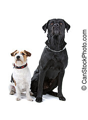 jack russel terrier and labrador