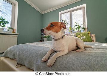 jack russel terrier on bed
