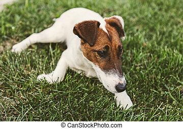 Jack Russel Terrier resting in a field