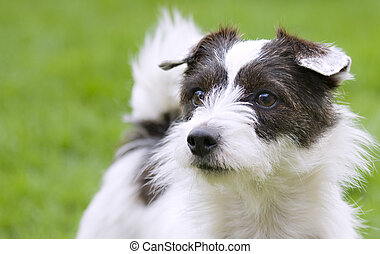 Jack russell - A cute Jack Russell terrier looking into the...