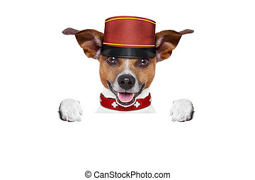 bellboy dog - jack russell bellboy dog behind a blank and ...