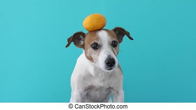 jack russell dog balancing a tangerine on the head