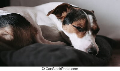 Jack Russell dog lay on the pillow.