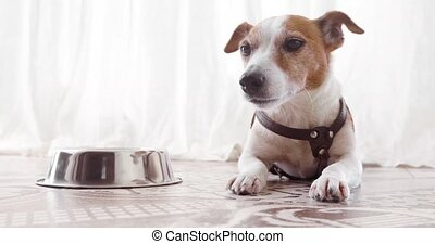 Jack Russell dog lies near empty bowl - Jack Russell Terrier...