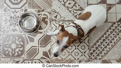 Jack Russell dog lies near empty bowl top view - Jack...