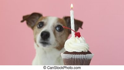 jack russell dog look at candle in cake - Cute jack russell...