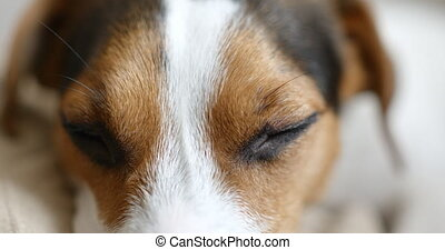 jack russell dog sleeping - Jack russell dog sleeping in his...