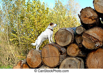 JACK RUSSELL DOG STANDING ON WOOD LOGS PILE IN THE FOREST