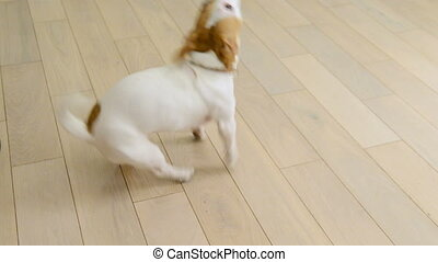 Jack Russell executes commands - Jack Russell Terrier...