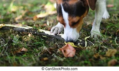 Jack russell fight with stick - Jack Russell nibbles stick...