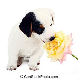 jack russell, junger hund, mit, a, groß, rose