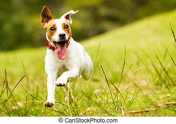 Jack Russell Parson Terrier Dog - Jack Russell Parson...