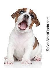Jack Russell puppy portrait - Jack Russell terrier puppy...