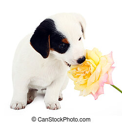 Jack Russell puppy with a big rose  on white background