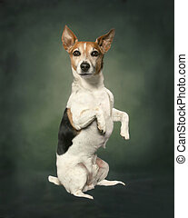Jack Russell - A jack russell terrier sits up in front of a...