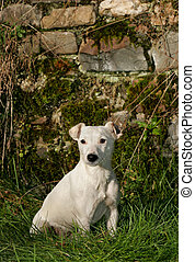 Jack Russell - White Jack Russell terrier dog sitting on the...