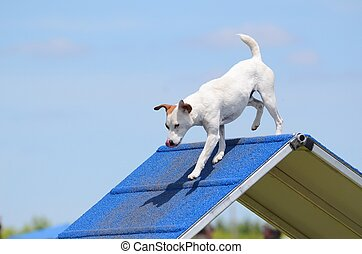 Jack Russell Terrier at Dog Agility Trial - Jack Russell...