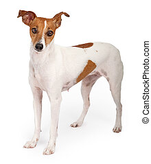 Jack Russell Terrier breed dog against a white background