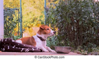 Jack Russell Terrier dog jumped into his place, soft pet bed...
