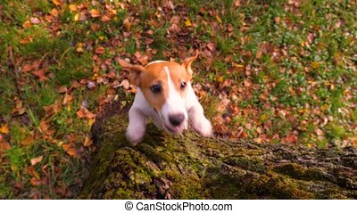 Jack Russell Terrier dog jumping up to catch wooden stick. ...