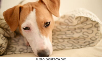 Jack Russell Terrier dog lying and falls asleep