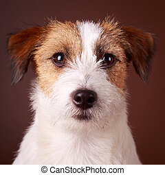 dog - Jack Russell Terrier dog