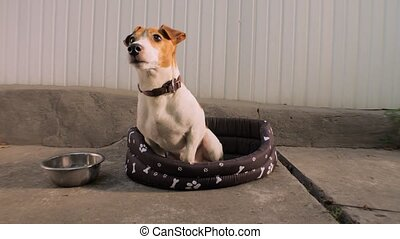 Jack Russell Terrier dog. Smart trained puppy, dog. Pet ...