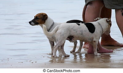 Jack Russell Terrier dogs on the beach - Jack Russell...