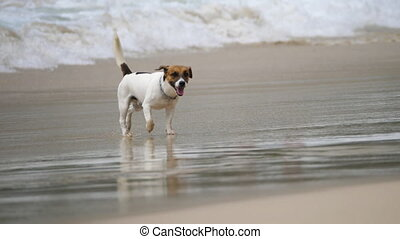 Jack Russell Terrier dogs on the beach
