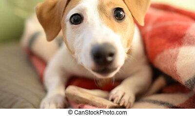Jack Russell Terrier eats dog treat