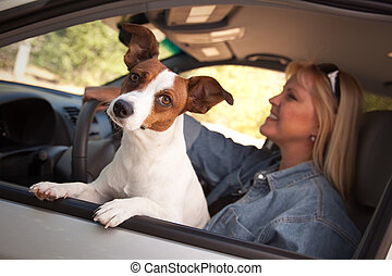 Jack Russell Terrier Enjoying a Car Ride - Jack Russell...