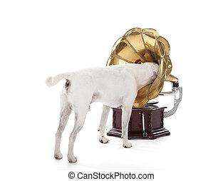 jack russell terrier, grondig, in, grammofoon, hoorn