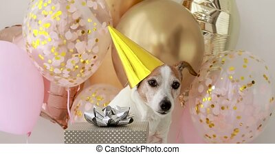Jack russell terrier in hat poses near birthday present - ...