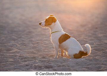 Jack russell terrier in sunlight