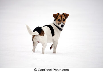 jack russell terrier in the snow