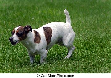 Jack Russell Terrier in Yard