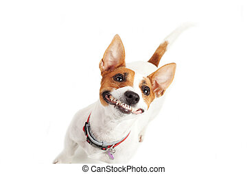 jack Russell Terrier - Jack Russell Terrier dog on a white...