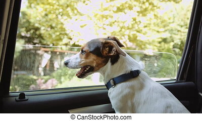 Jack Russell Terrier looks out the open window of the car .