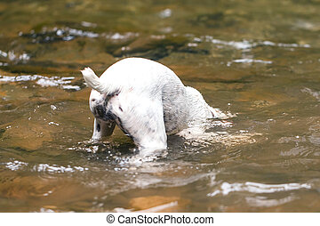 Jack Russell Terrier Making Scuba