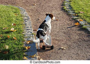 Jack Russell Terrier on skateboard