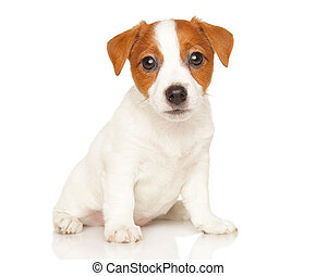 Jack Russell terrier on white - Jack Russell terrier sits in...