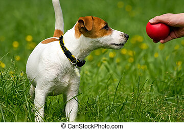 Jack Russell Terrier Pet - The cheerful small puppy plays...