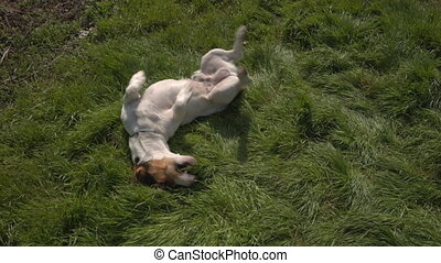Jack Russell Terrier playing in the grass