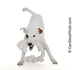 Jack Russell Terrier playing with biting rope