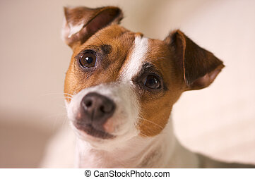 Jack Russell Terrier Portrait - Jack Russell Terrier Dog...